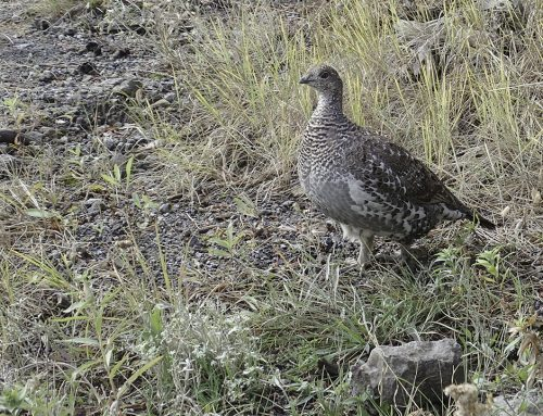 Grouse on Fairy Falls Trail – Yellowstone