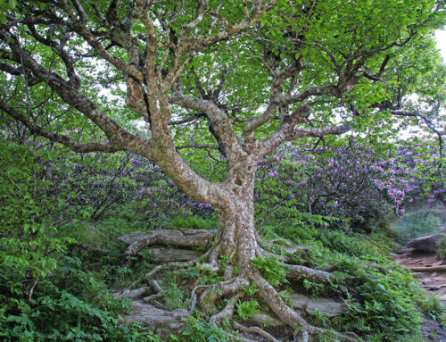 Twisted Birch at Craggy Gardens – Blue Ridge Parkway