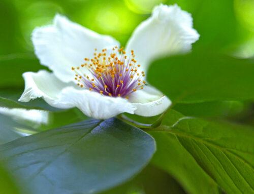 Mountain Camellia – Rare Native