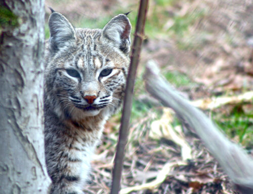 Bobcat at the WNC Nature Center