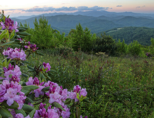 Blooming Rhododendrons on Little Pisgah