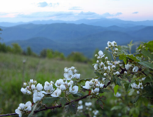 Blackberry Flowers on Little Pisgah