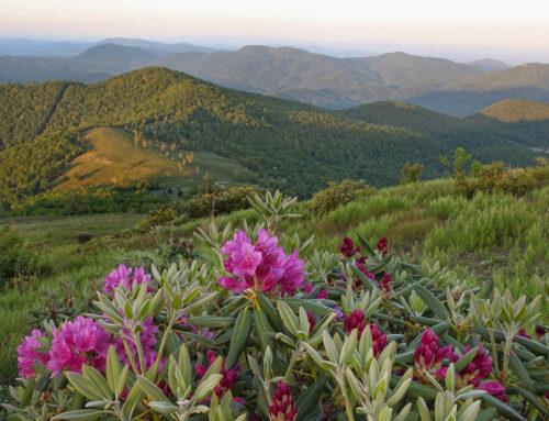 Mountaintop Rhododedron – Little Pisgah
