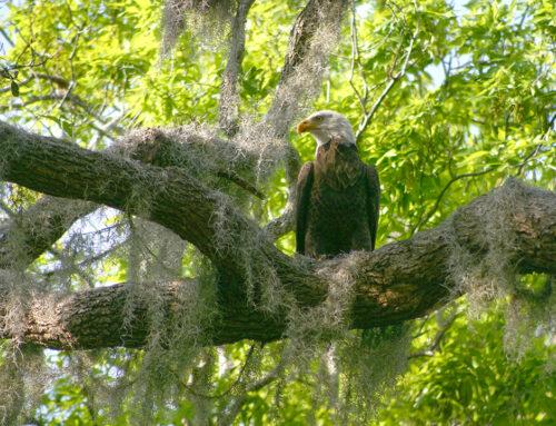 Bald Eagle and Spanish Moss – Orange Lake, Florida