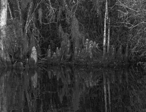 Okefenokee Swamp – Tangled Forest