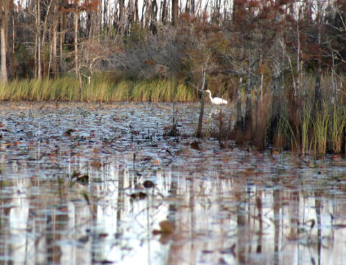 Okefenokee Swamp – Great Egret